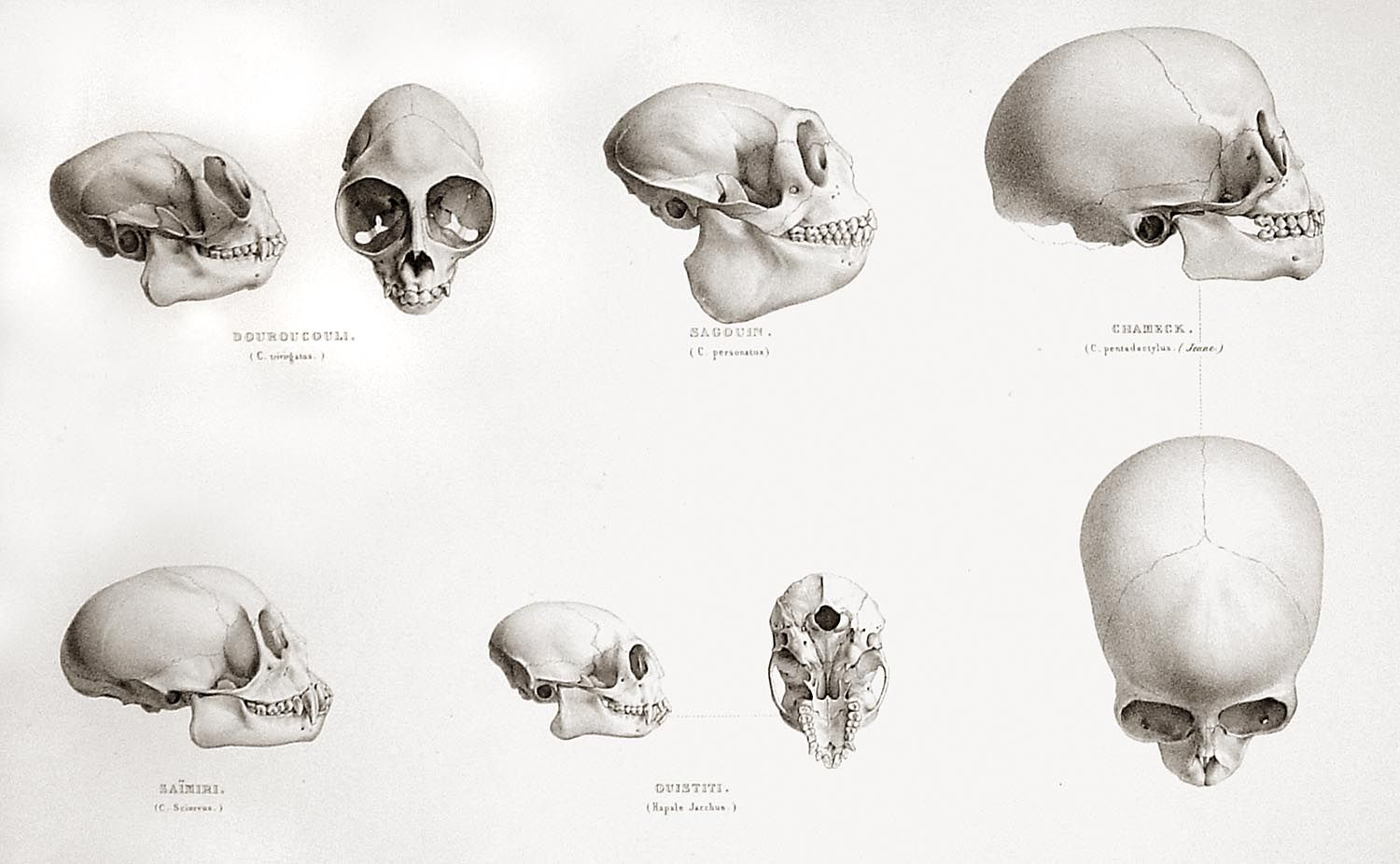 medium resolution of the skulls of a night monkey top left an atlantic titi top