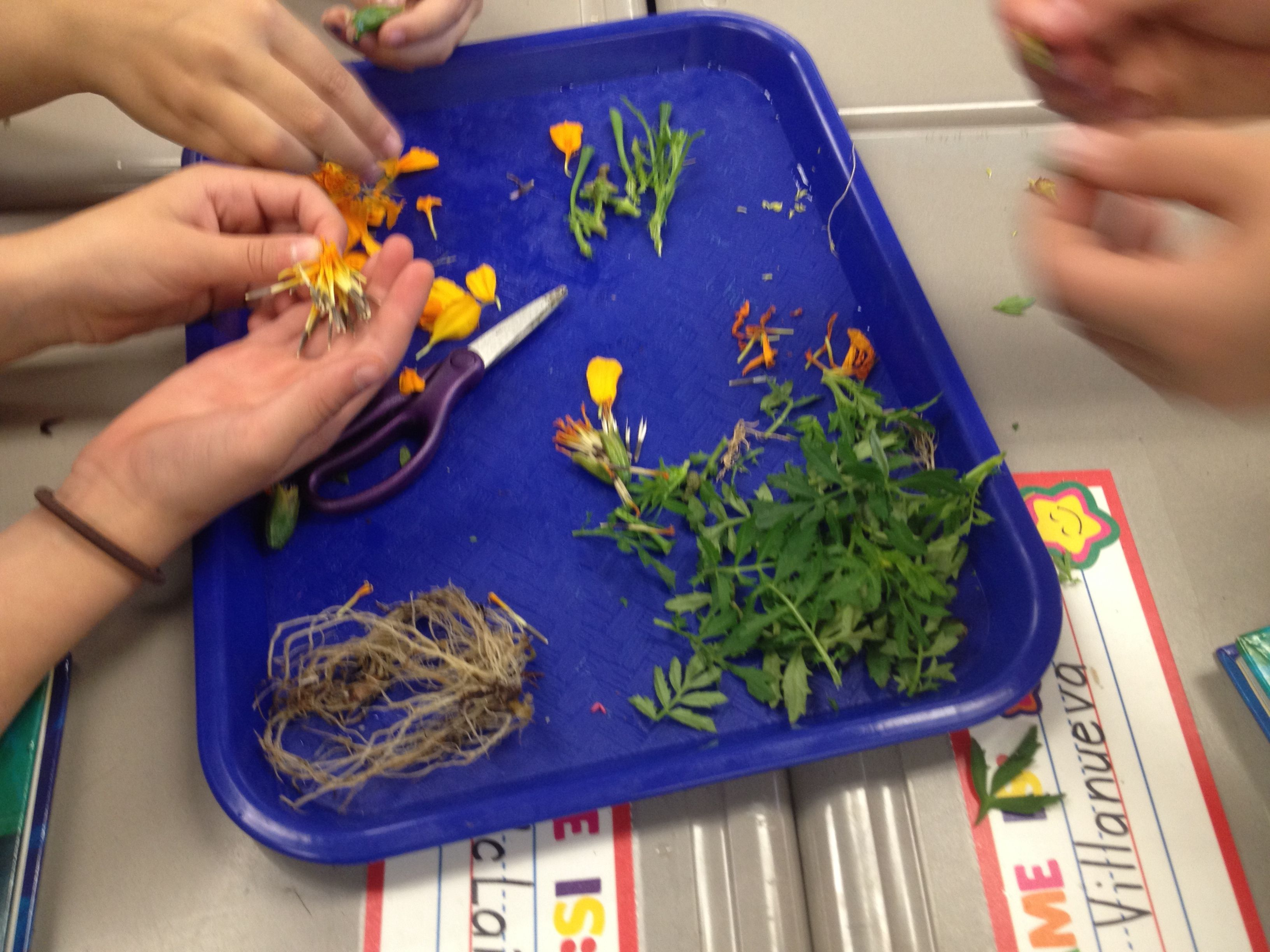 Marigold Dissection Treasures Unit 5 Amp Life Science