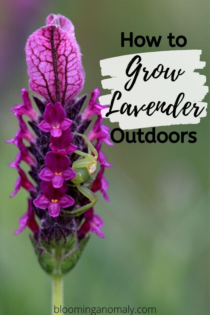 How to grow lavender outdoors growing lavender garden