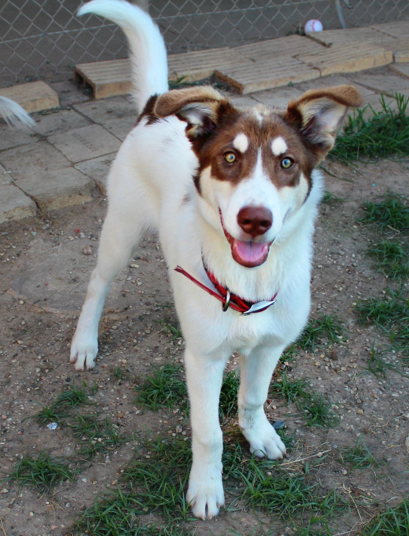 Adopt Doc on Australian shepherd, Shepherd mix dog