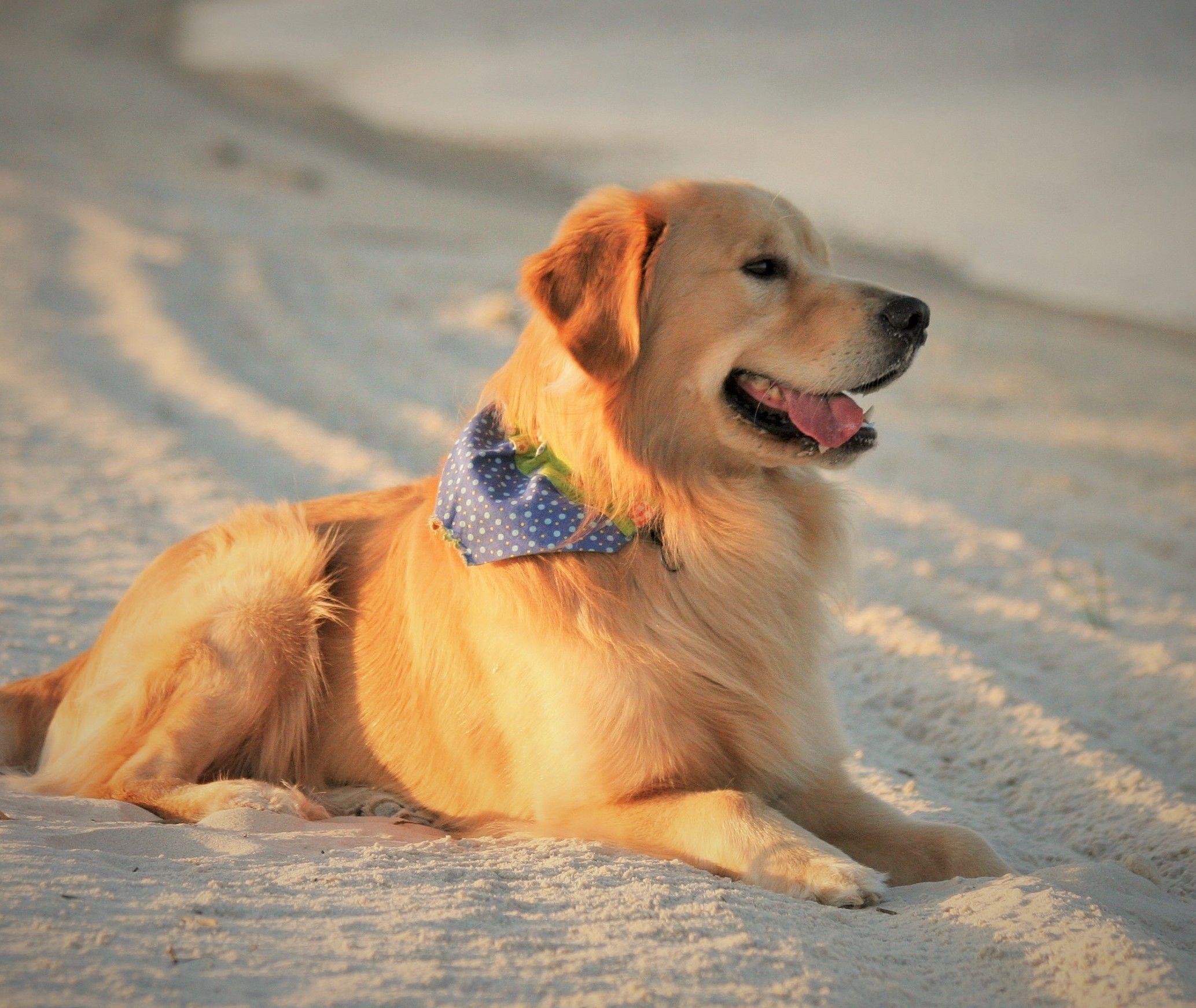 2014 Bay St Louis Ms Goldenretrieverpuppiesstlouis Puppy