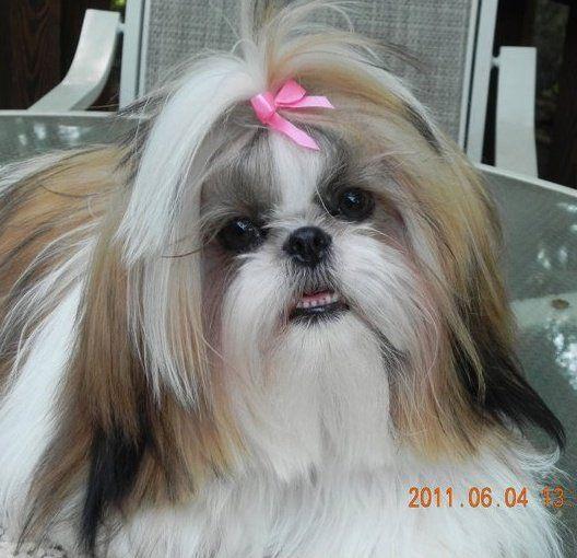 Shih Tzu Lovers Welcome You North Carolina Shih Tzu Pupps Shih Tzu Long Hair Shih Tzu