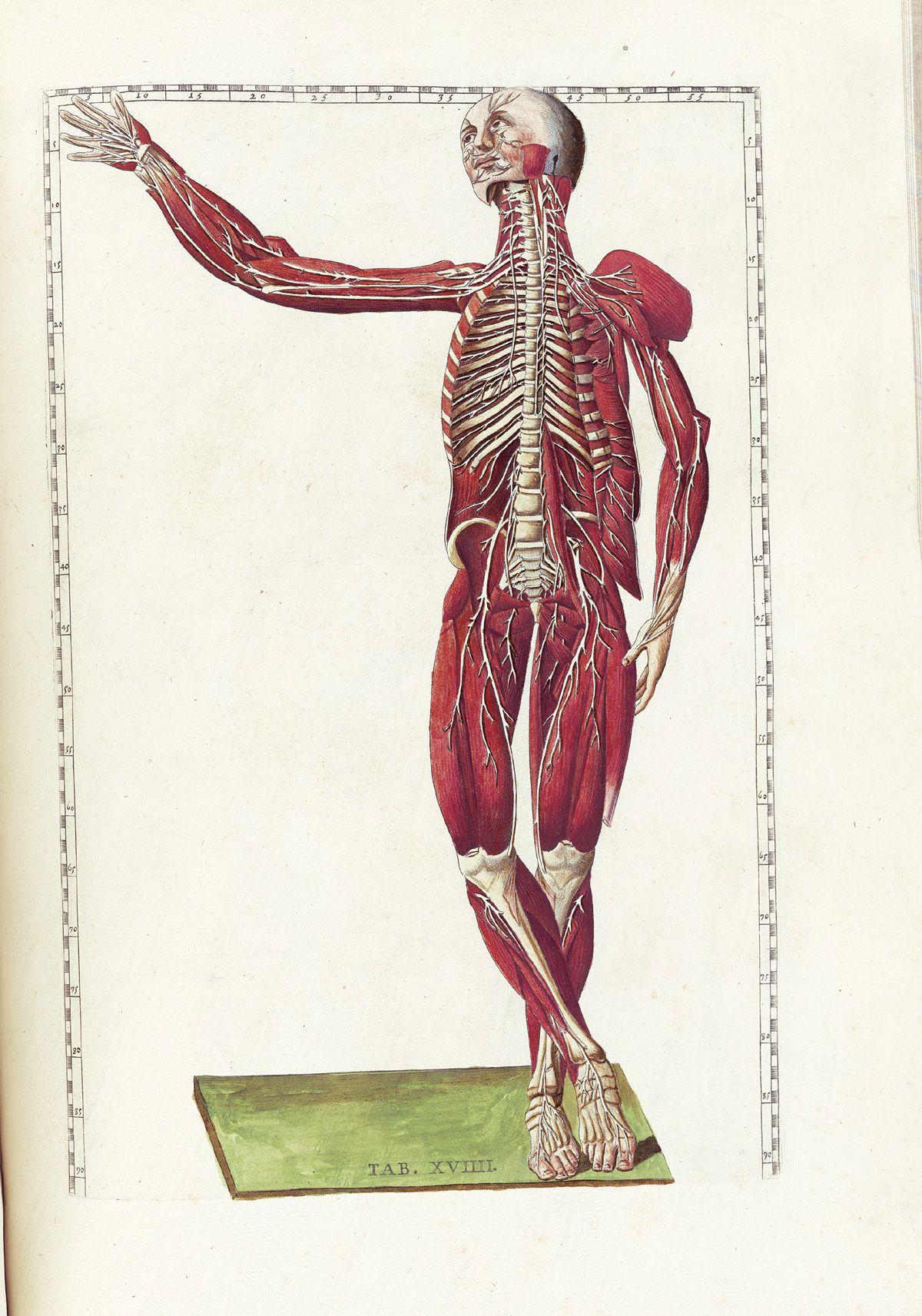 Bartholomeo Eustachi Tabulae Anatomicae With Images