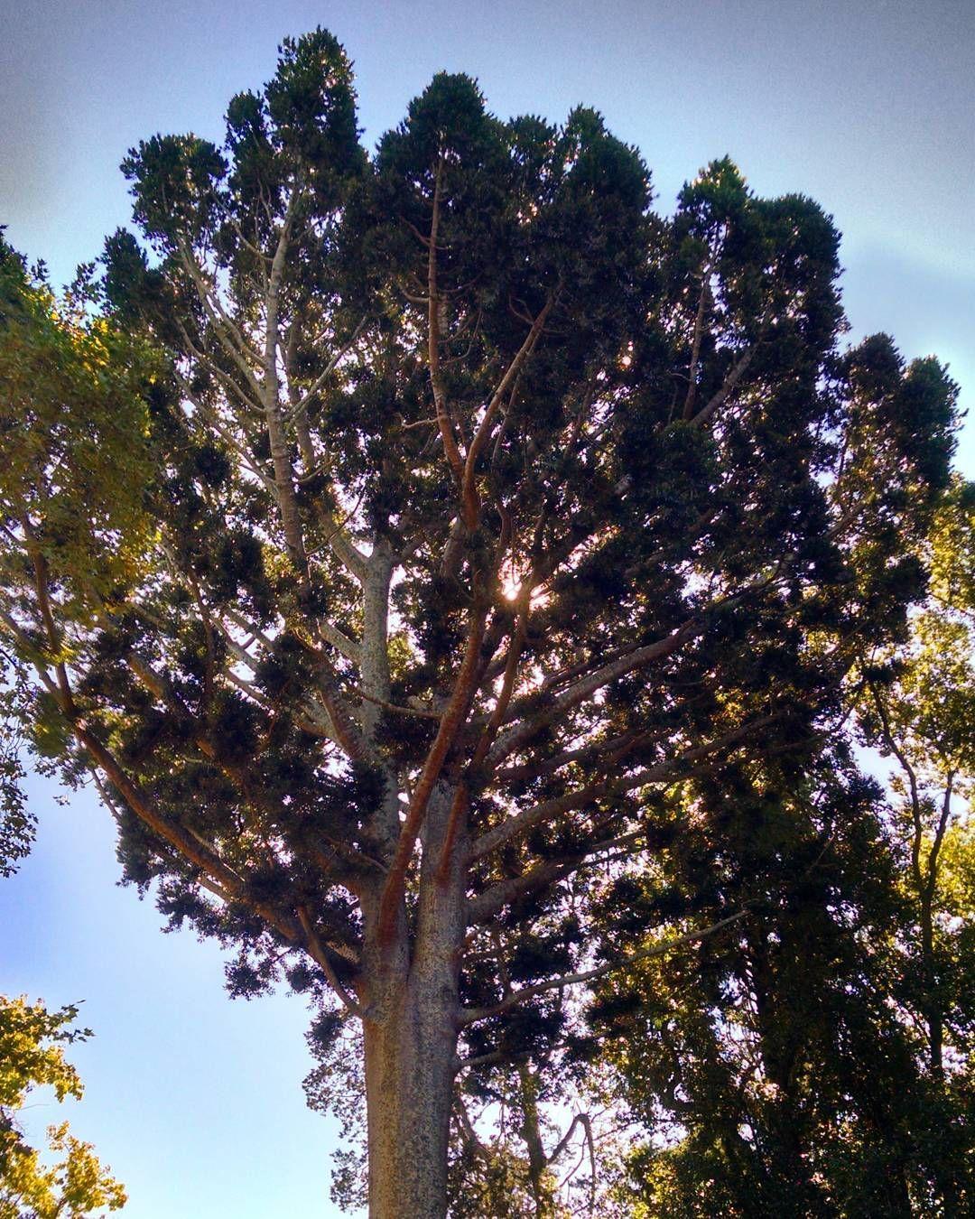 Árbol de Cristal Agathis Alba originario del