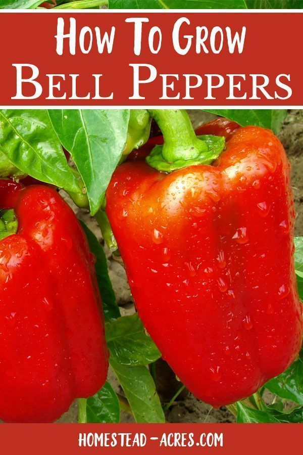 Grow Bell Peppers Everything you need to know to grow great bell peppers in your vegetable garden When to plant peppers how to care for pepper plants and how to harvest b...