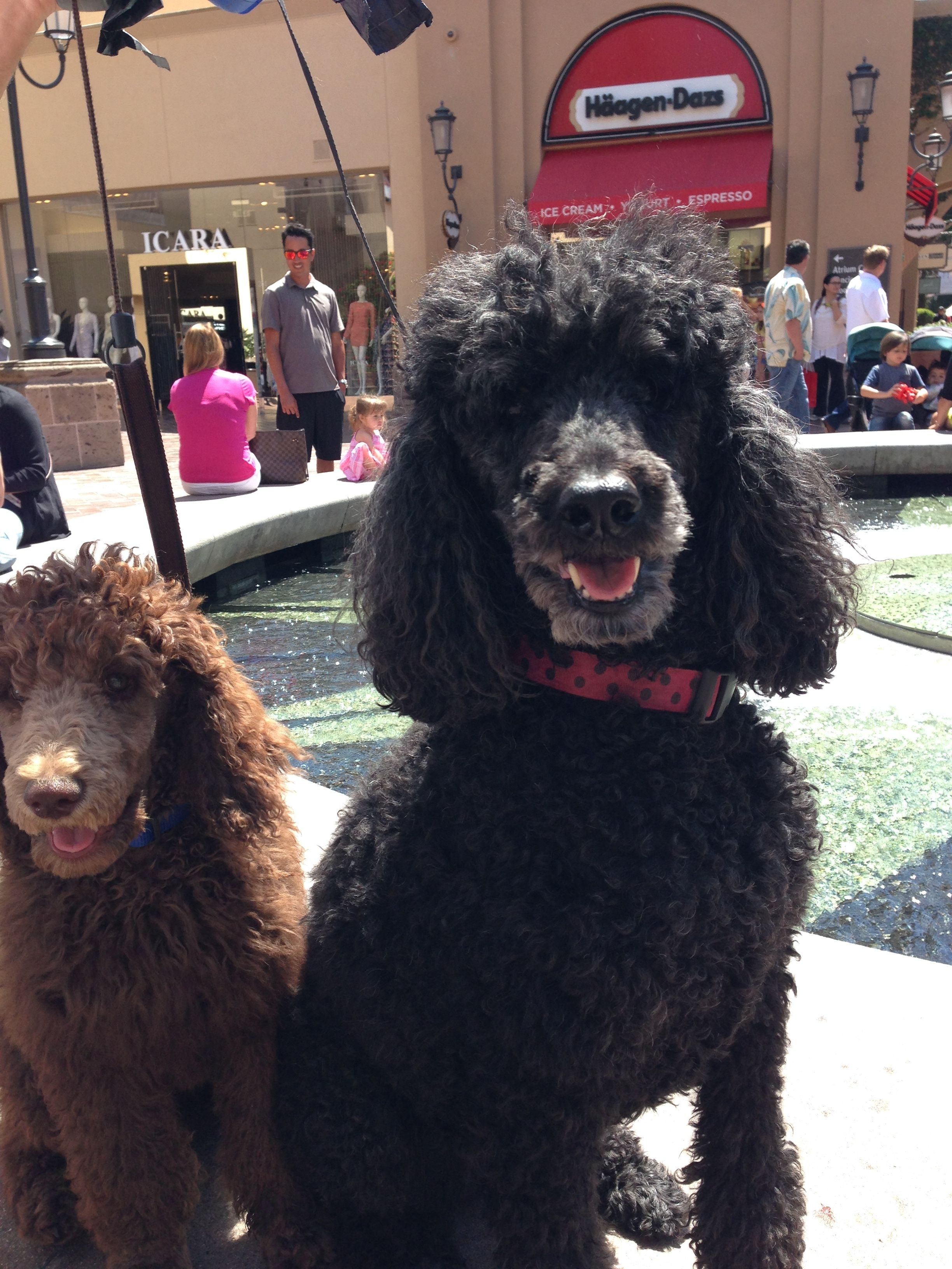 Maisy Black Poodle And Marcel Brown Poodle 14 Weeks Old Now