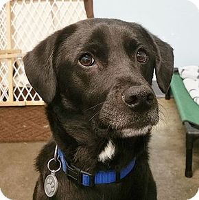 4417, read his bio, Retriever/Border Collie Mix Dog for