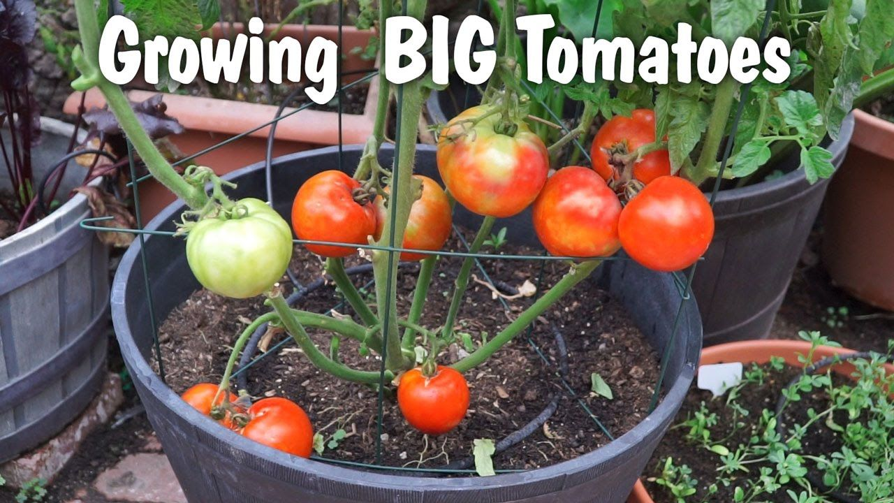 Growing big tomatoes in containers mountain pride tomato