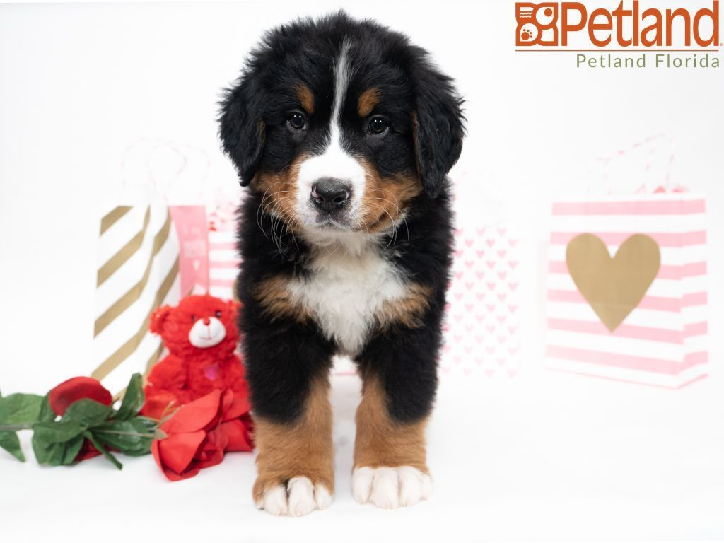 Puppies For Sale Puppy Friends Puppies For Sale Bernese Mountain Dog Puppy