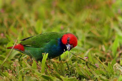 Fiji Parrotfinch Erythrura Pealii Pticy