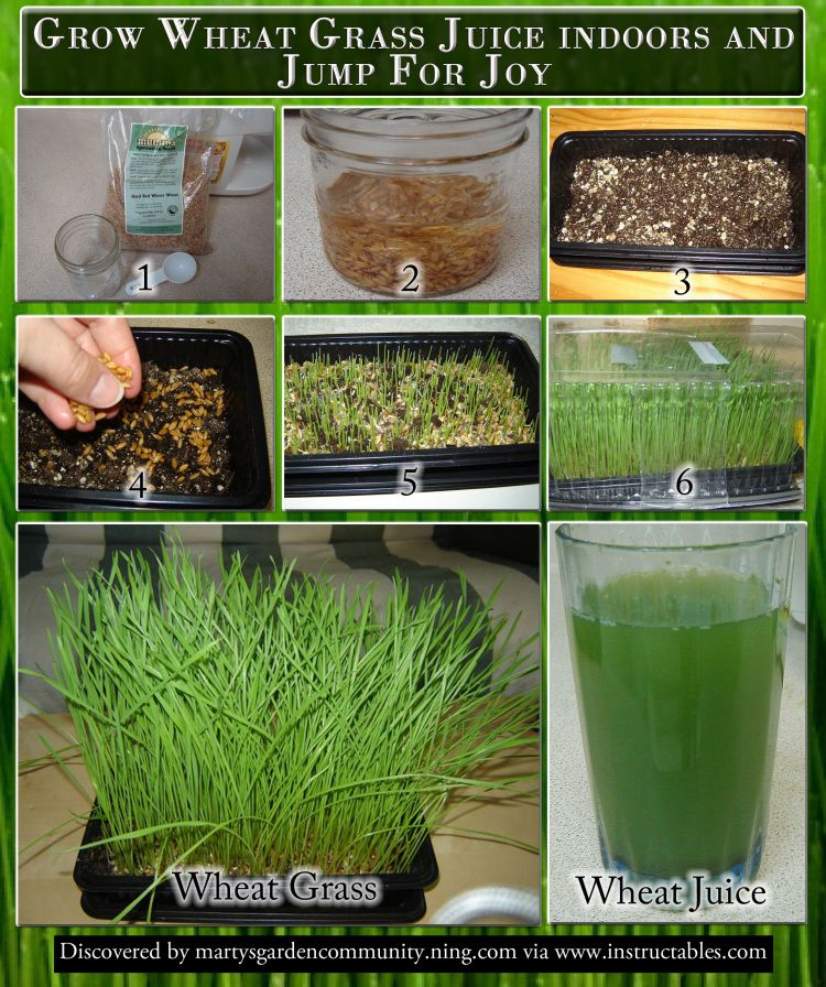 Grow Wheat Grass Juice indoors and Jump For Joy (With