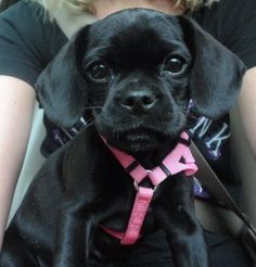 black puggle - Google Search
