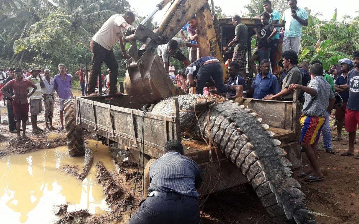 Operarios rescatan un enorme cocodrilo encontrado cerca de