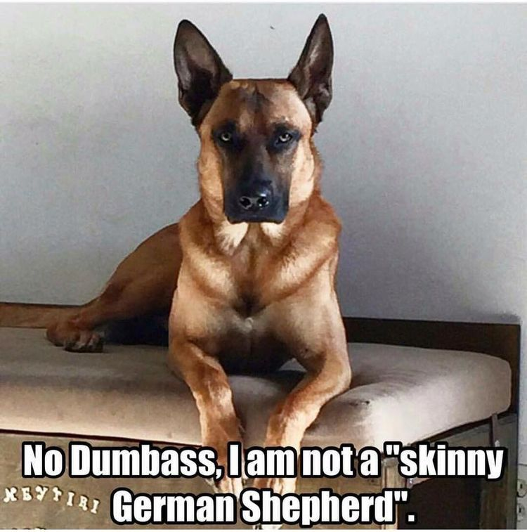 Seriously Everyone Always Asks Isn T Your Gsd A Little Small