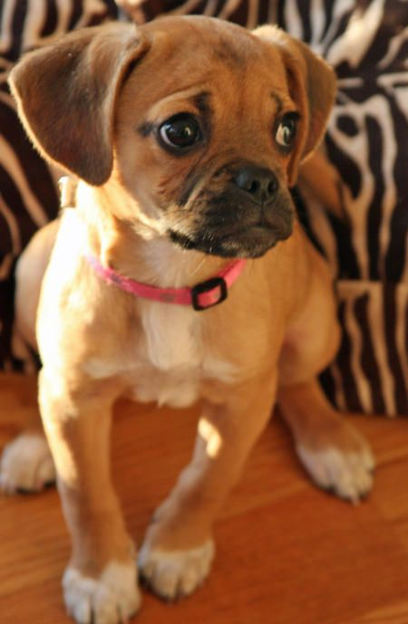 Puggle I Want One So Bad Don T Leave Me Here