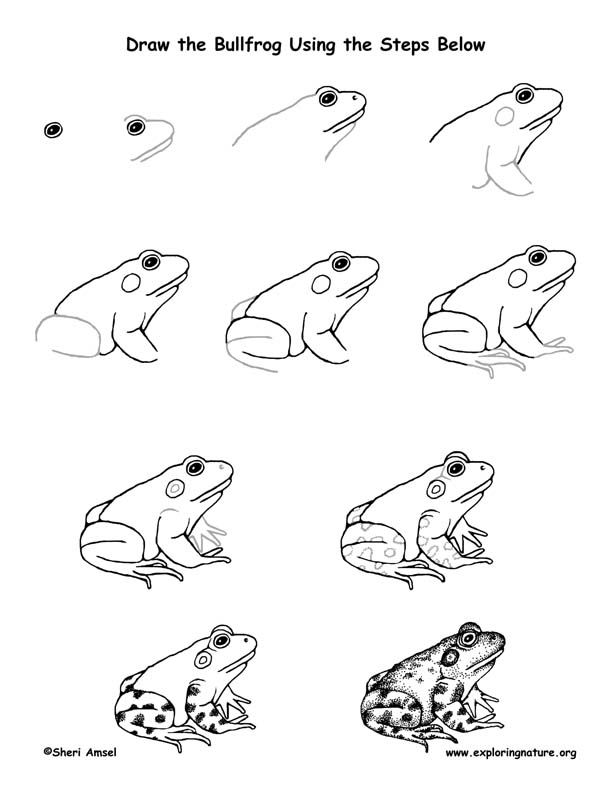 Bullfrog Drawing Lesson Drawing Lessons Figure Drawing Tutorial