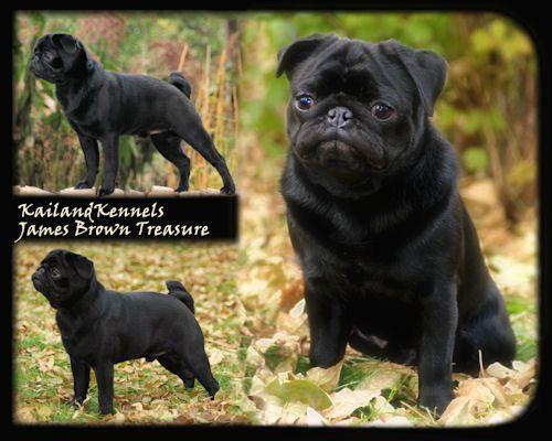 Black Pug Of My Dreams Black Pug Pugs James Brown