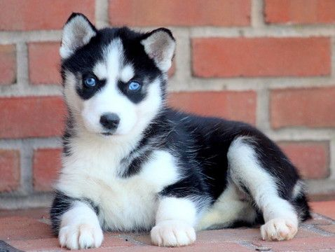 Siberian Husky Puppy For Sale In Mount Joy Pa Adn 58188 On