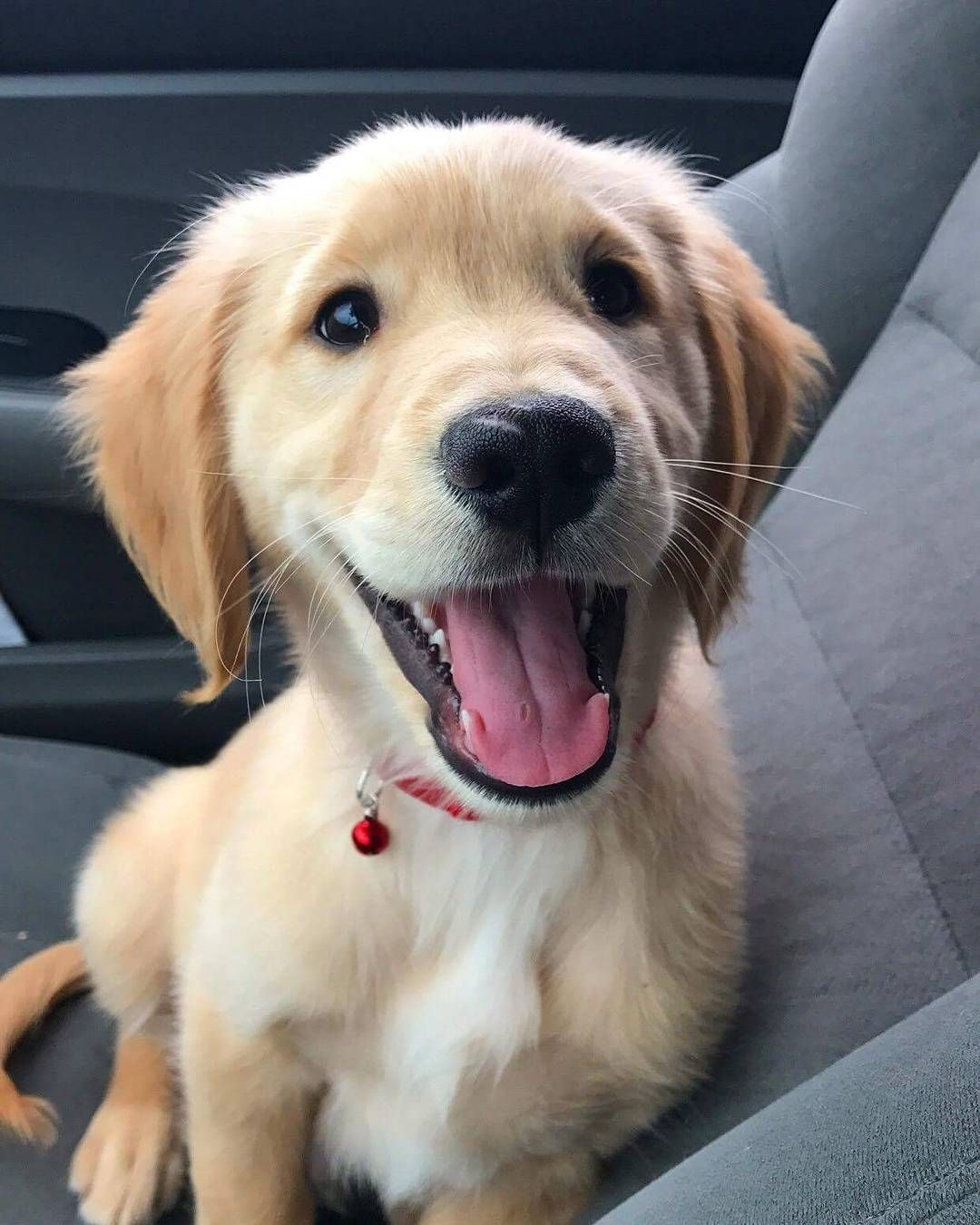 How Would You Like To Hold This Cute Golden Retriever Puppy Next