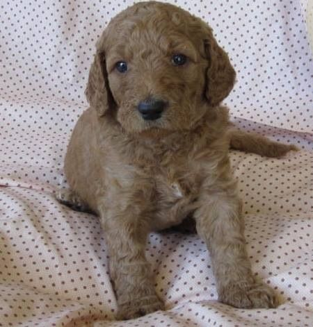 Shiloh Labradoodles For Sale Adorable Labradoodle Dogs Dog Cat