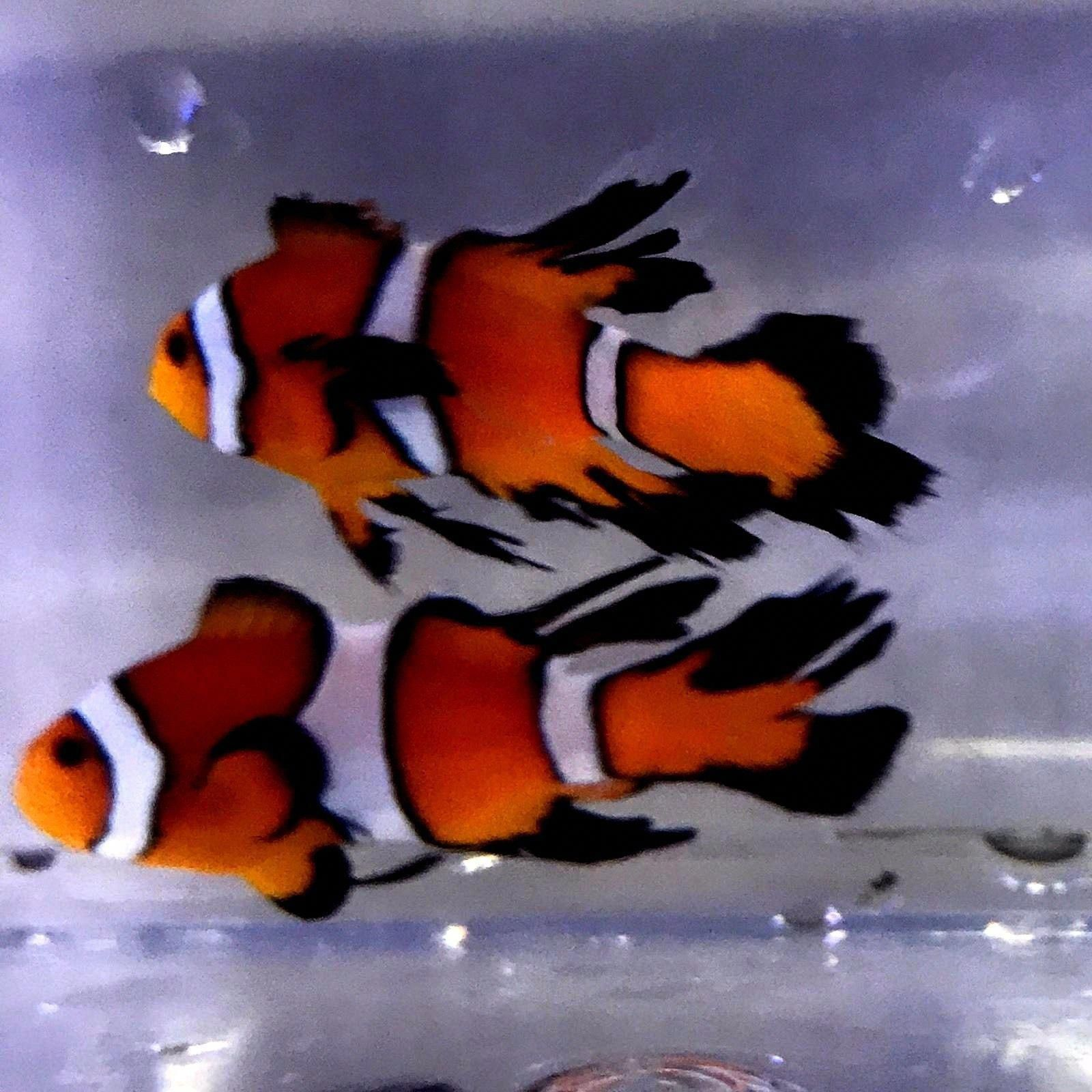 Long Fin Clownfish Pair Wysiwyg Live Marine Fish Saltwater Fish Designer Clowns Clown Fish Animal Room Marine Fish