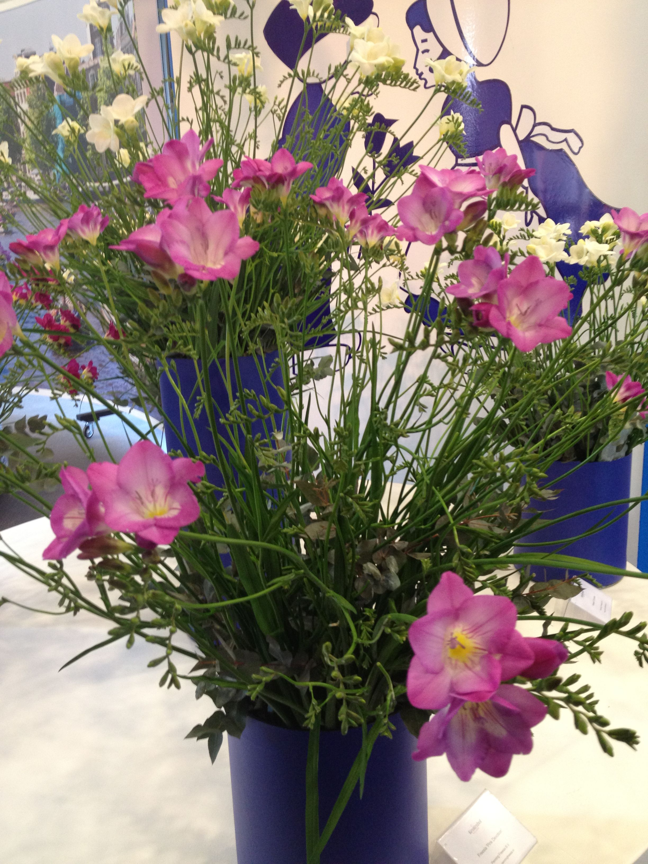 #Freesia 'Pink Devotion', new bright pink, single-flowering variety.