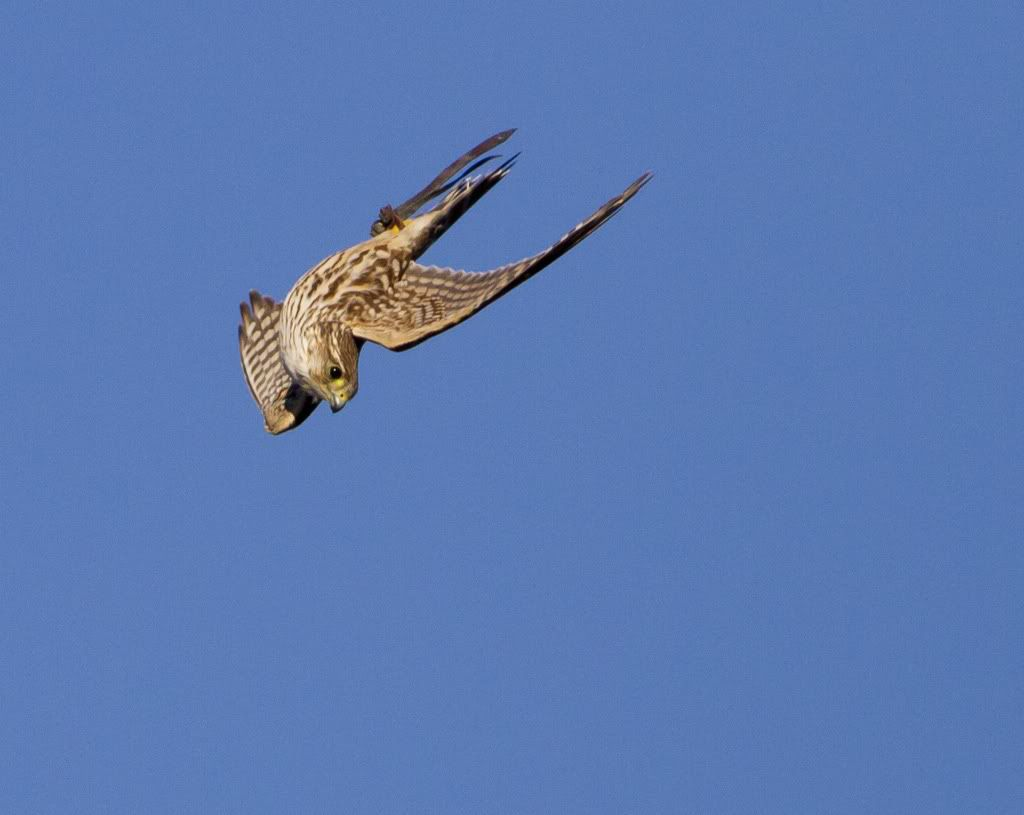 Stooping Peregrine Falcon Birds Raptors Bird Birds Of Prey