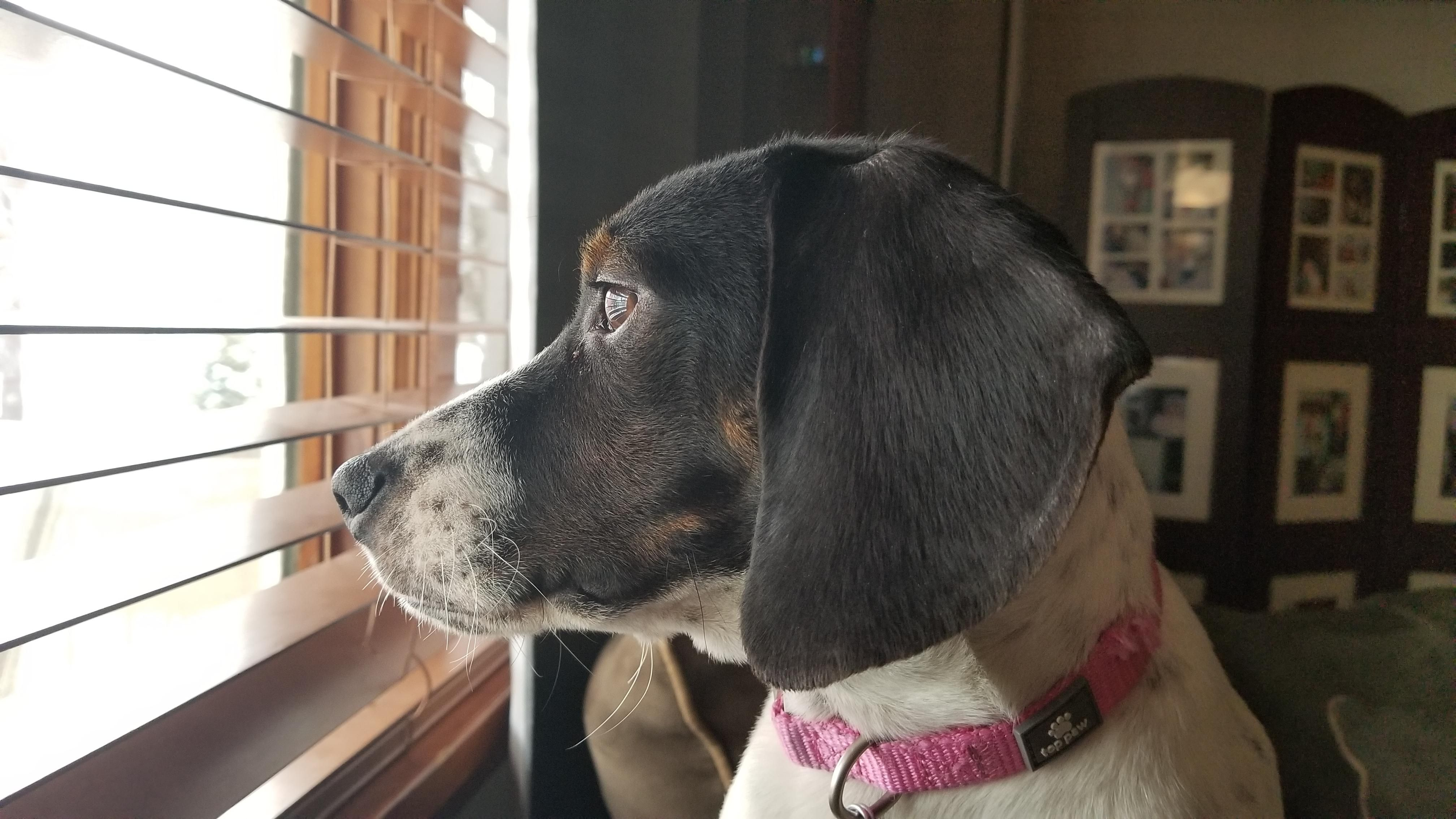 Our Little Beagle Pup Loves To Tentatively Look Out Of Our Front