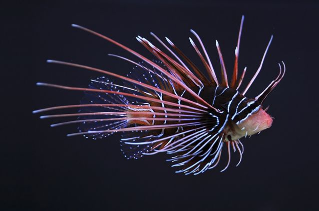 Lionfish Fish Breed Information And Pictures Petguide Lion Fish Animals Beautiful Sea Creatures