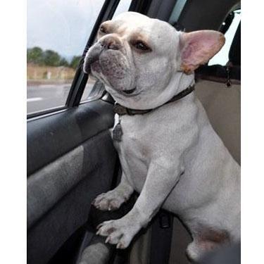 Meet Chetto A Bulldog From Mexico City Mexico Bulldog