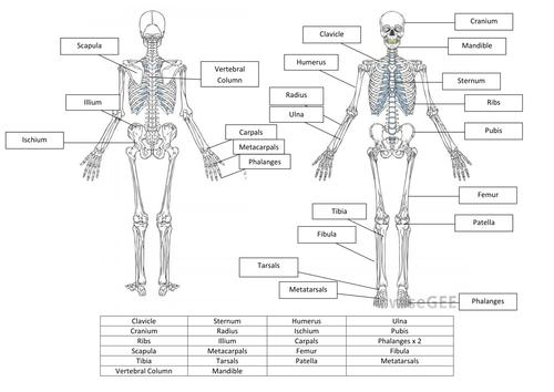 Pictures Skeletal System Worksheet Answers Signaturebymm Skeletal System Worksheet Skeletal System Worksheets