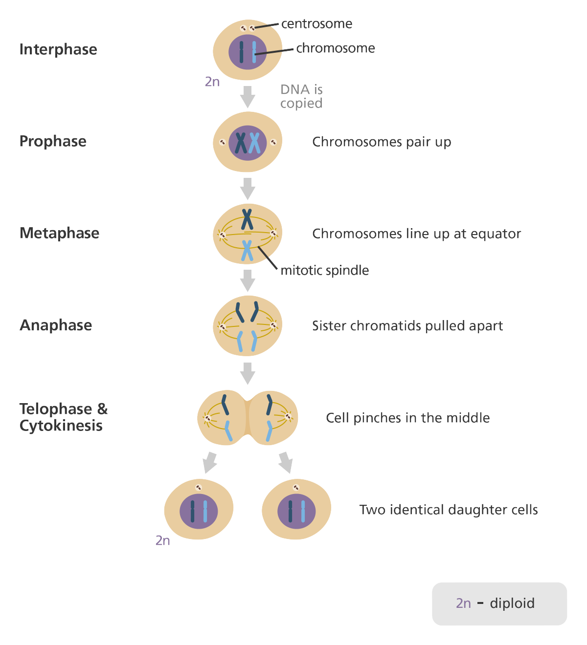 What is mitosis school notes homeschool and school this lovely diagram clearly shows the different phases of mitosis interphase when the pooptronica Gallery