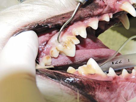 Image Quiz: Submandibular draining tracts in a Maltese mix - #Veterinary Medicine - dvm360