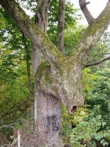 The Donkey Tree Tree The Donkey Old Things