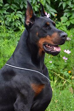 Doberman Pinscher Puppy For Sale In Portland Or Adn 70609 On