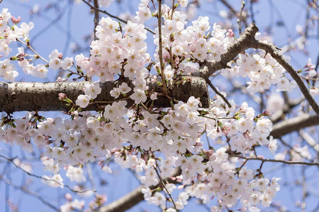 Cherry Blossoms At Bbg Brooklyn Botanic Garden Brooklyn Botanical Garden Botanical Gardens Near Me Botanical Gardens