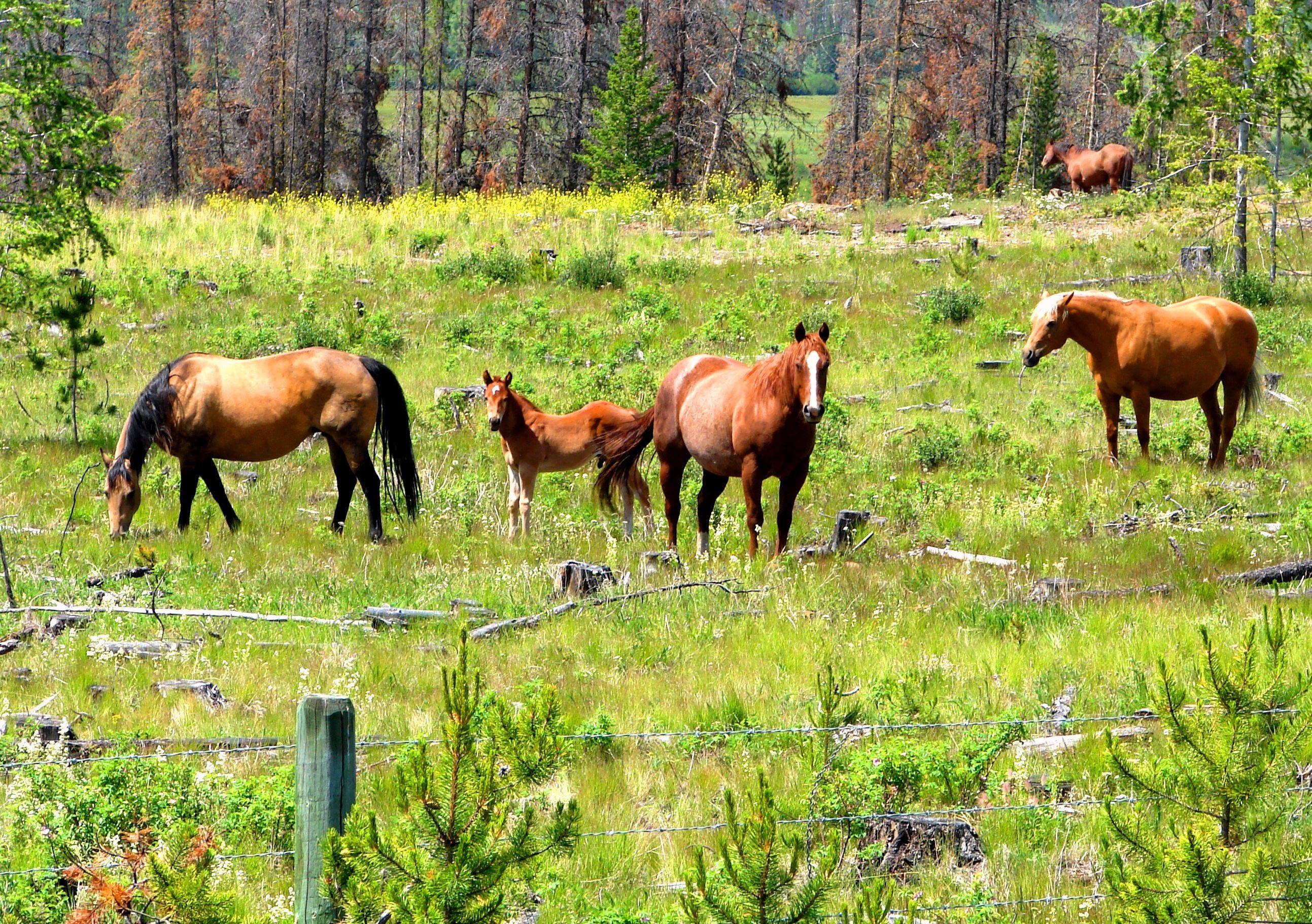 Horses near Logan Lake, B.C. - 2009