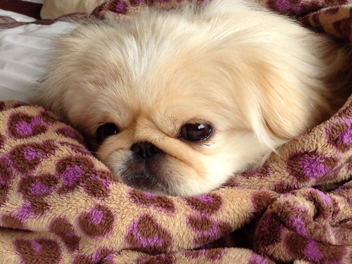 A peke named pumpkin pekingnese dogs pinterest pekingese dogs
