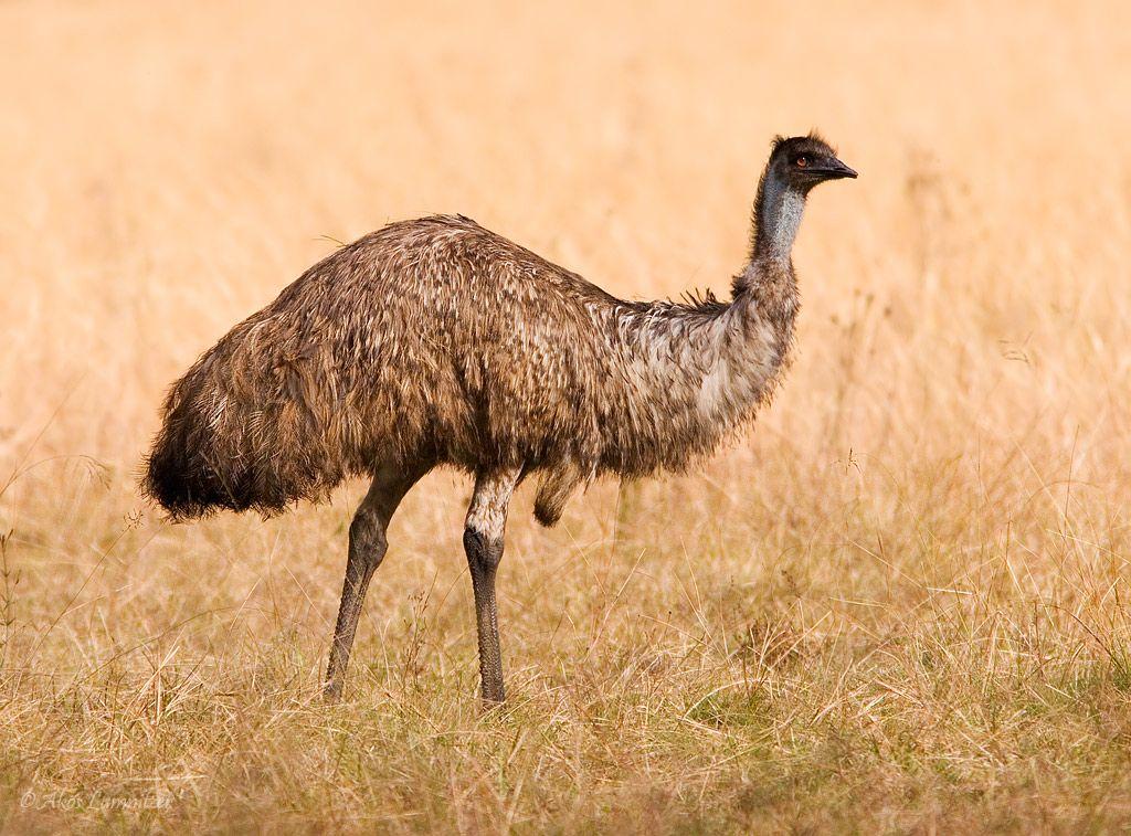 Emu sydney