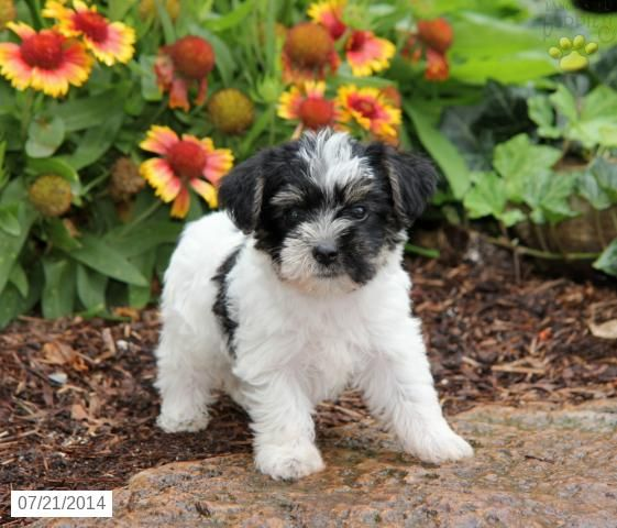 YorkChon Puppy for Sale in Pennsylvania Puppies for