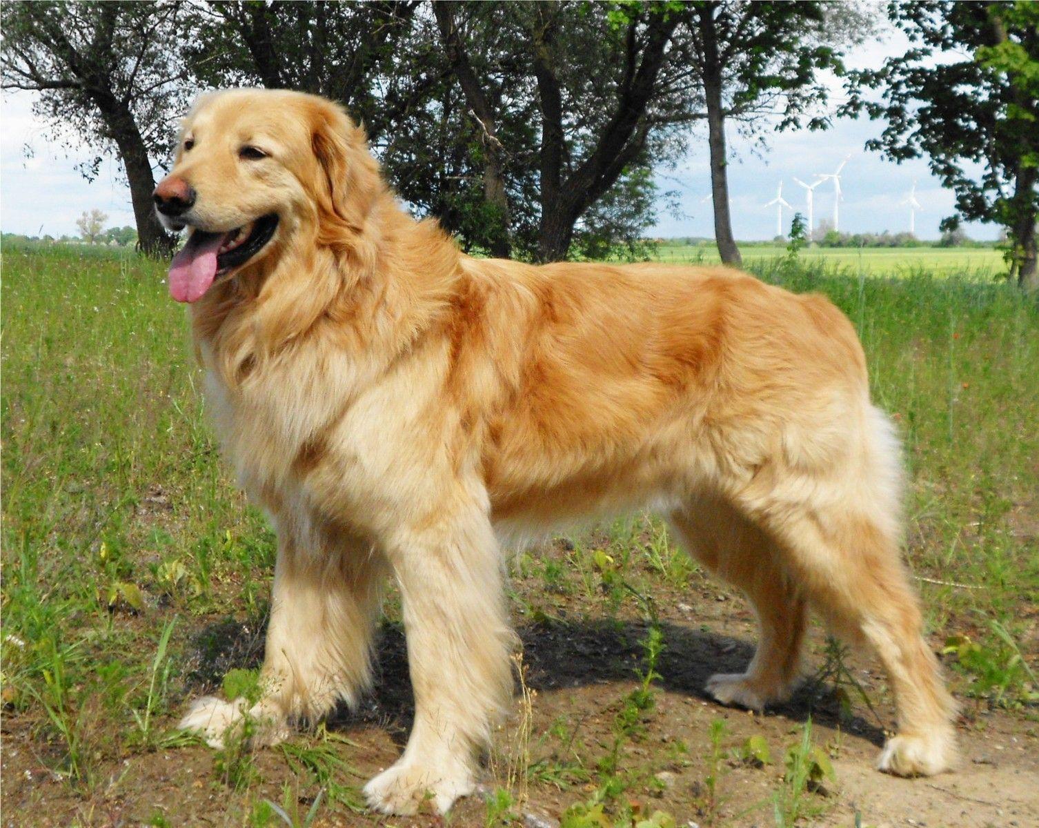 Golden Retriever Shepherd Mix Service Dog
