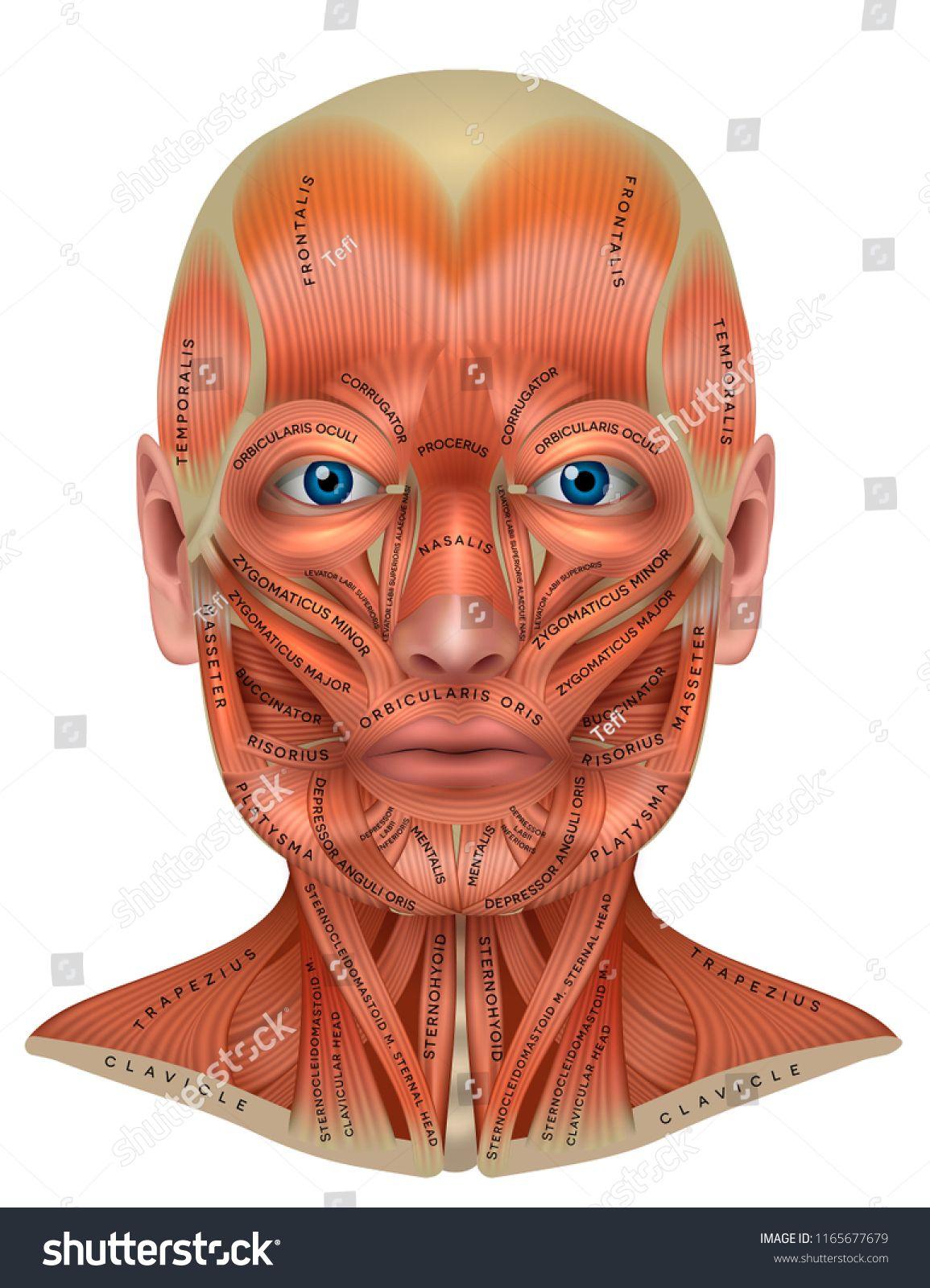 Throat Head Face Anatomy Vector Diagram Stock Vector Manual Guide