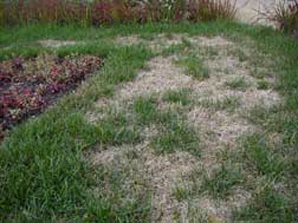 Billbugs - Lawn Insects  - Lawn Insect Damage #billbugs #lawninsects