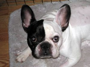 I Found Pepper On French Bulldog Rescue Network French Bulldog