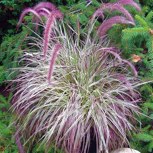 Pennisetum setaceum 39 cherry sparkler 39 ext rieur for Ornamental grass with pink flowers