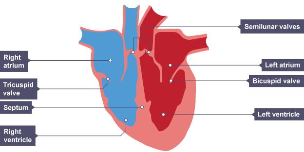 Cardiovascular system - AQA - Revision 1 - GCSE Physical ...