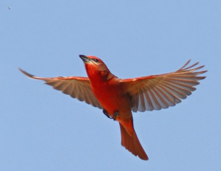Chico tanager, a Hepatic Tanager