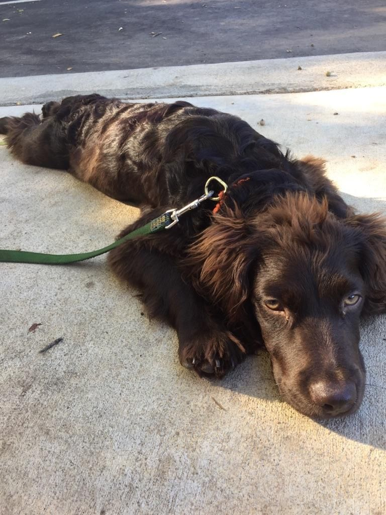 Pin By Jeannie Horton On Boykins Puppy Mom Boykin Spaniel