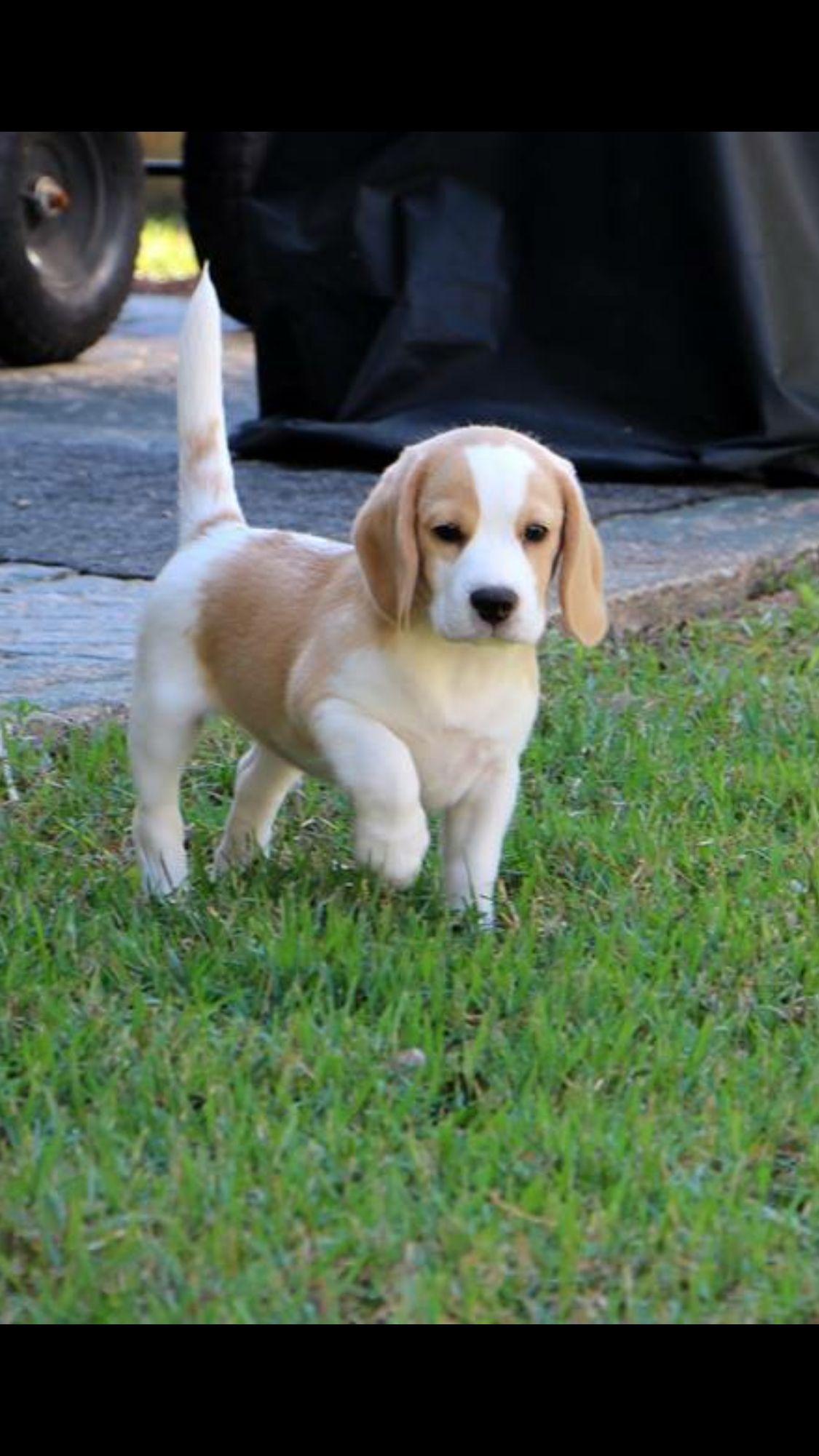 Famous redhead beagle