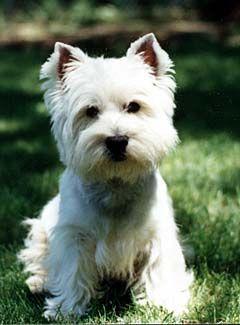 Wesley Westie Terrier Westies